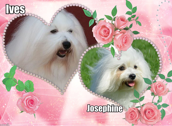Coton de Tule�r puppies